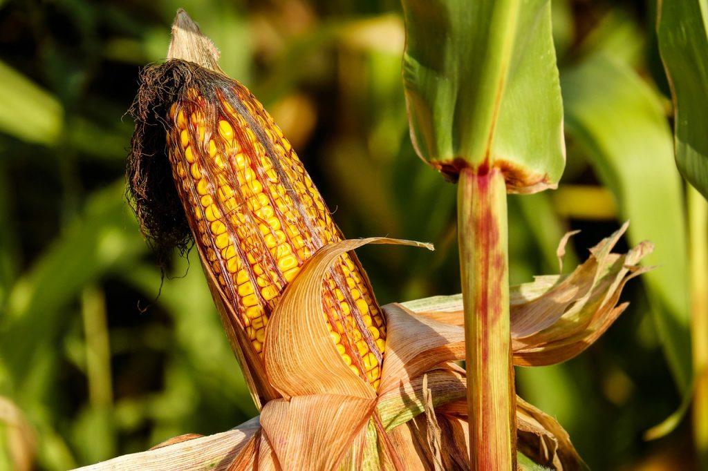 Mais, der Grundstoff für PLA und CPLA